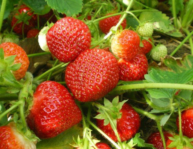 Фото - Кращі сорти полуниці для отримання цілорічних врожаїв