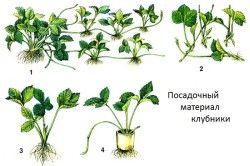 Варіанти розсади полуниці