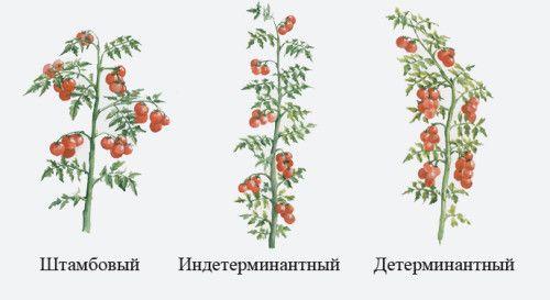 Види формування томатів: (штамбовий, індетермінатний, детермінантний)
