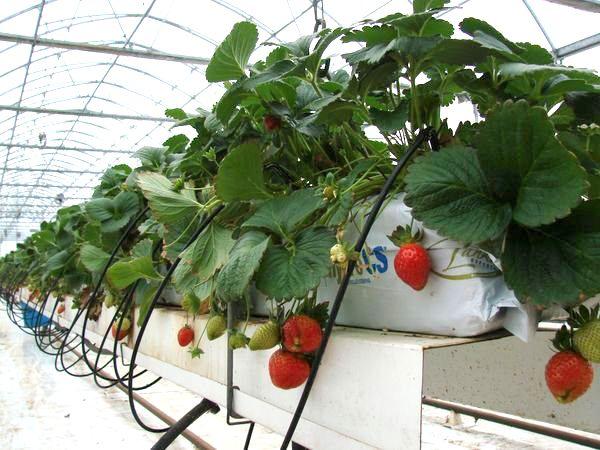 Приклад вирощування полуниці в трубах
