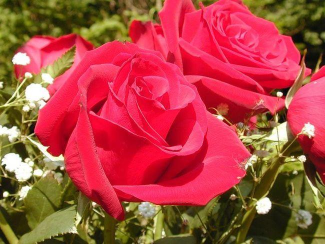 Фото - Методика догляду за тепличними трояндами