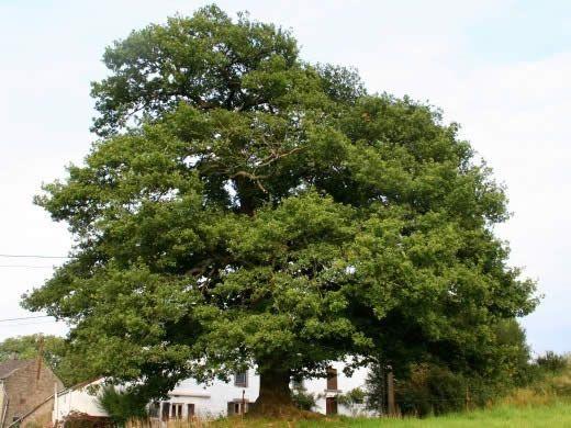 На місці перетину грунтових вод може рости самотній дуб.
