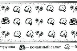 Схема спільного вирощування брокколі, петрушки і качанового салату.
