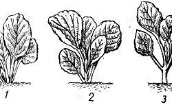 Фото - Новий погляд на вирощування капусти: нетрадиційні сорти