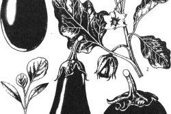 Фото - Про агротехніці вирощування бакложанов
