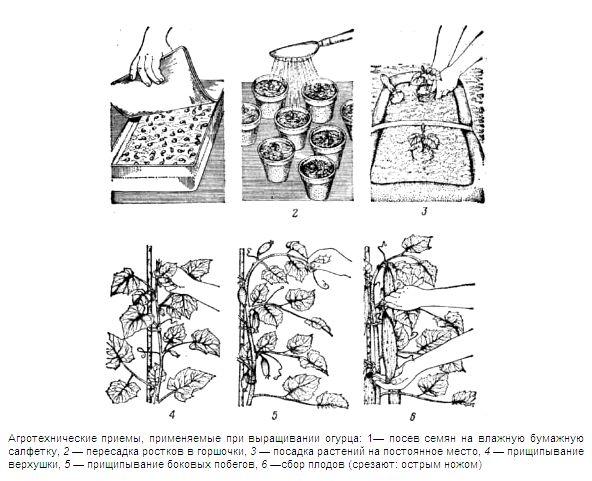 Фото - Огірок: особливості його вирощування
