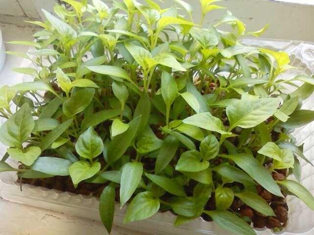 Фото - Основні методи вирощування розсади перцю без ґрунту