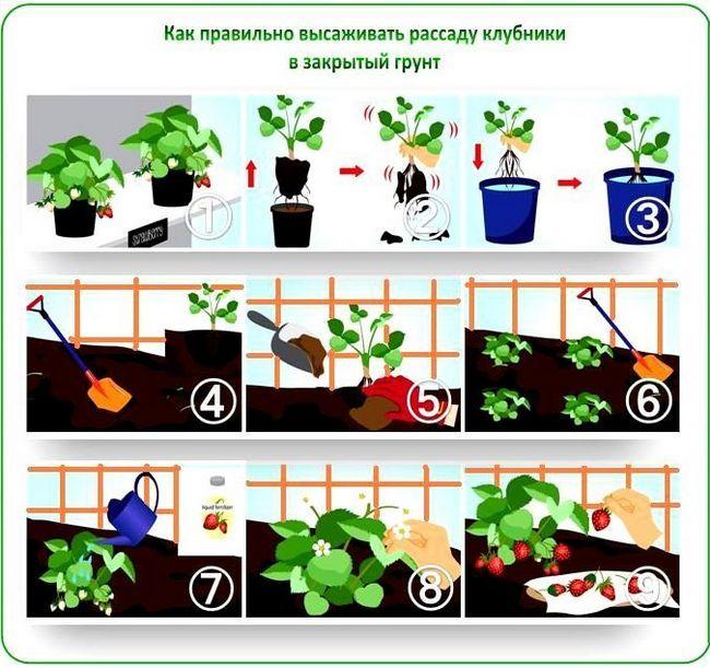 Фото - Основні моменти вирощування вікторії в теплиці