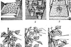 Схема вирощуванні огірків