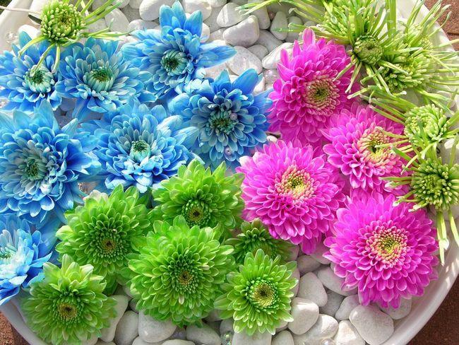 Фото - Основні рекомендації по вирощуванню хризантем в теплицях