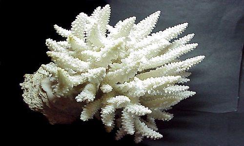 Фото - Особливості білого корала