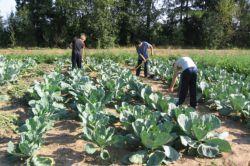 Фото - Особливості технології вирощування капусти