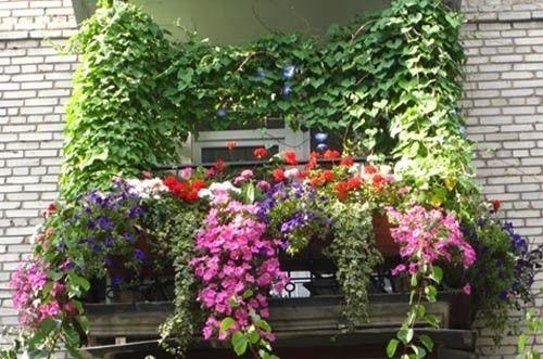 Фото - Особливості вирощування дівочого винограду на балконі