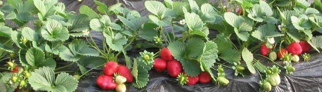 Фото - Особливості вирощування та розмноження полуниці