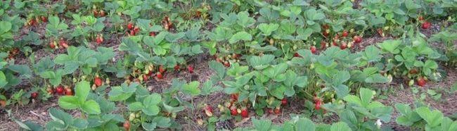 Фото - Особливості вирощування садової полуниці