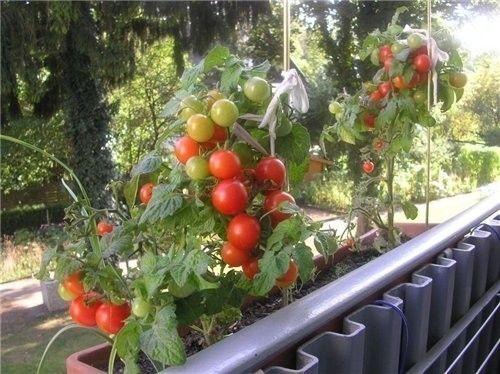 Фото - Овочі на балконі