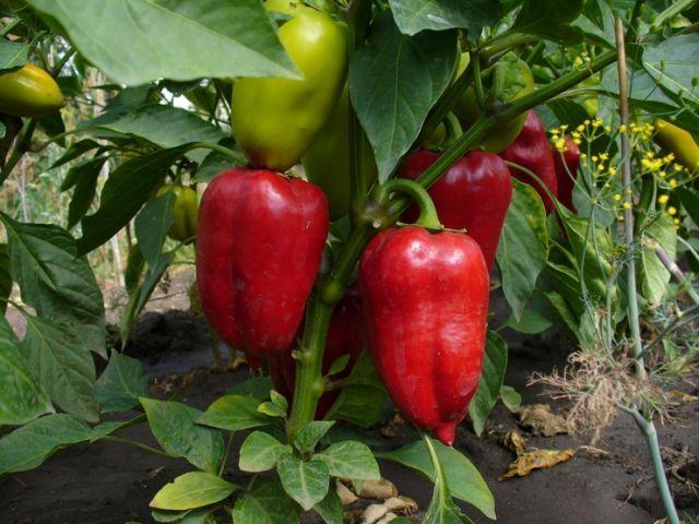 Фото - Перець в теплиці: особливості вирощування та догляду