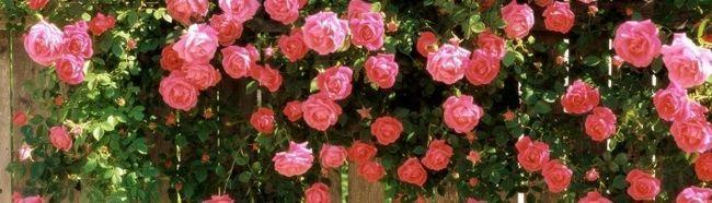 Фото - Плетиста троянда: вирощування і догляд