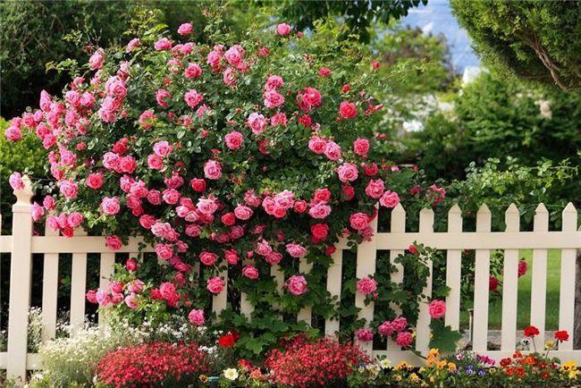 Фото - В'юнкі троянди у вашому саду: прості правила вирощування та догляду