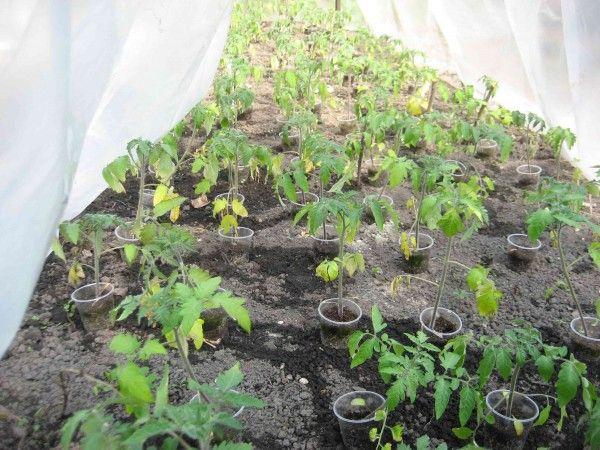 Фото - Чому листя помідорів жовтіють в теплиці?