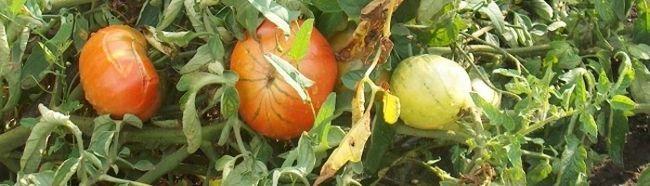 Фото - Чому жовтіє листя помідорів в теплиці?