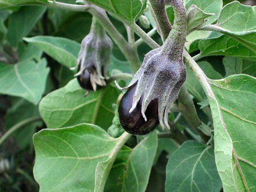 Фото - Корисні рекомендації по вирощуванню баклажанів