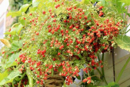 Грунт для помідорів чері