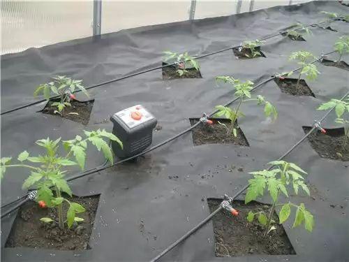 Вода для поливу томатів