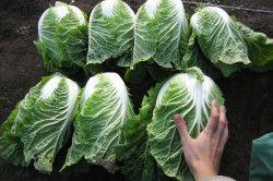 Урожай капусти по методу Митлайдера