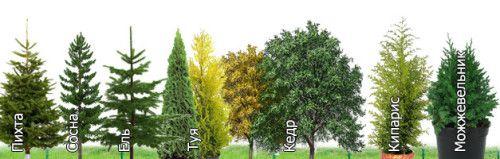 Види хвойних дерев для живоплоту