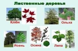Види листяних дерев