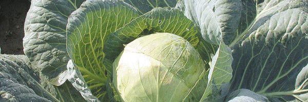 Фото - Пізня капуста: правила вирощування