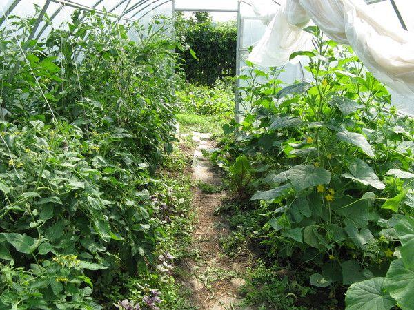 Фото - Правила посадки овочевих культур в теплиці: питання сумісності