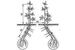 Схема висадки баклажанів