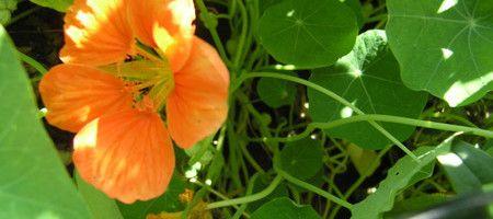 Фото - Правила вирощування настурції