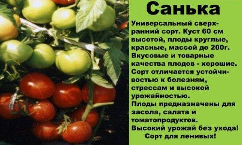 Фото - Правила вирощування помідорів сорту санька