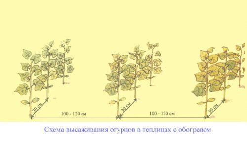 Фото - Правильна посадка огірків в парнику, теплиці