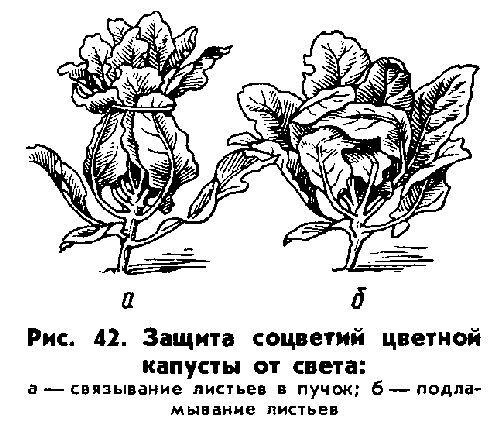 Фото - Правильно вирощуємо хорошу цвітну капусту