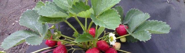 Застосування агроволокна при вирощуванні суниці і огірків