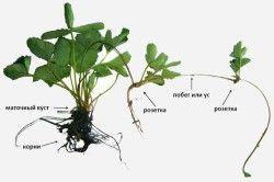 Схема розмноження полуниці розетками