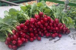 агротехніка вирощування редиски