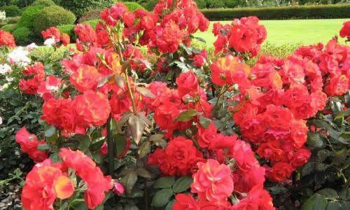 Розарій на садовій ділянці