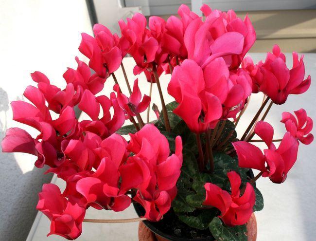 Фото - Рожеві переливи на пелюстках цикламена