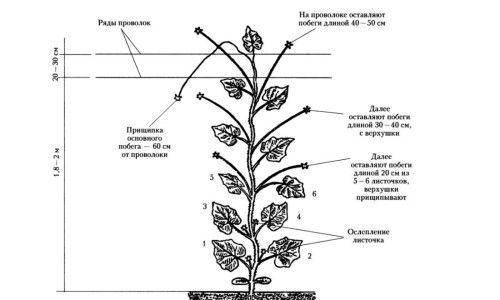 Схема формування огірків