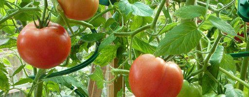 Фото - Самостійна підгодівля томатів при посадці