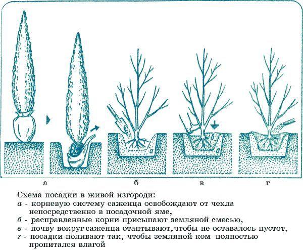 Садимо живі насадження замість глухого паркану з металу