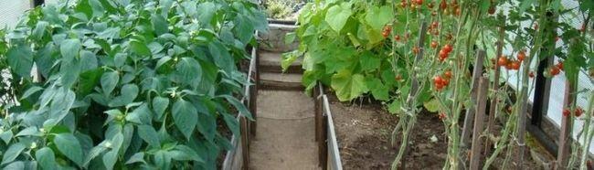 Фото - Спільна посадка овочів в теплиці