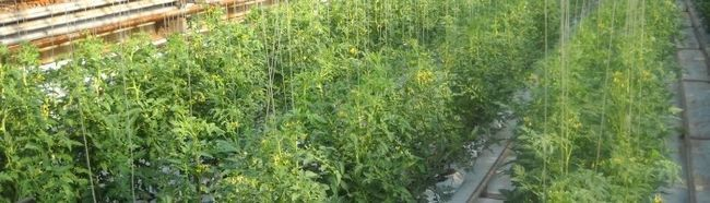 Фото - Способи підв'язки томатів у теплиці
