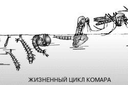 Фото - Способи захисту від підвальних комарів