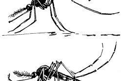Малярійний і звичайний комар